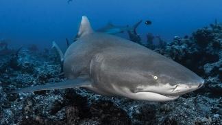 requin-citron